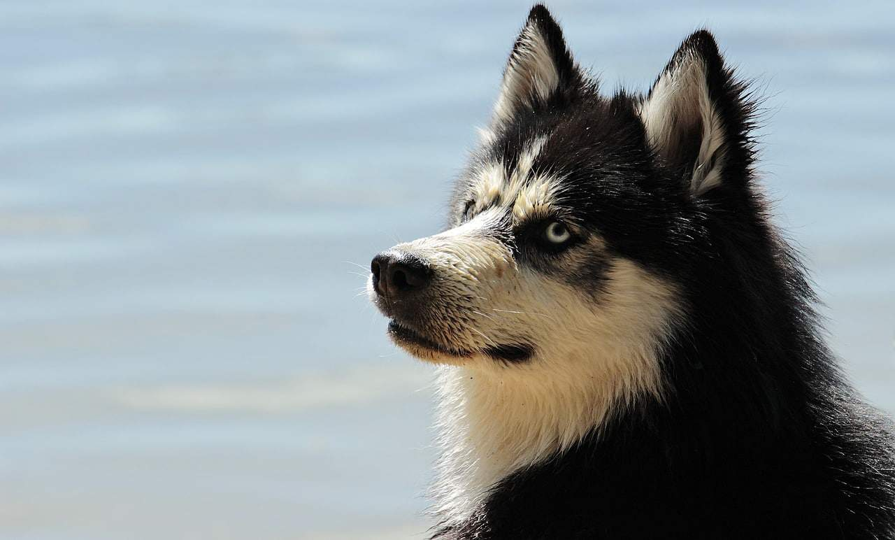 husky, dog, dog breed